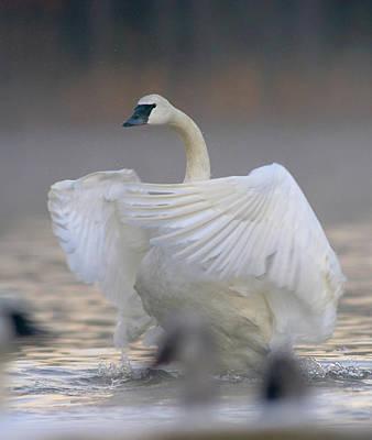 Cygnus Photograph - Trumpeter Swan (cygnus Buccinator by Tim Fitzharris