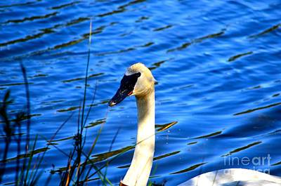 Photograph - Trumpeter Swan by Johanne Peale