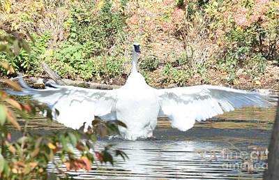 Photograph - Trumpeter Swan by John Telfer