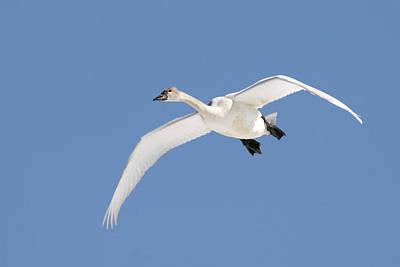 Jul08 Photograph - Trumpeter Swan, Lake Ontario, Ontario by Doug Hamilton