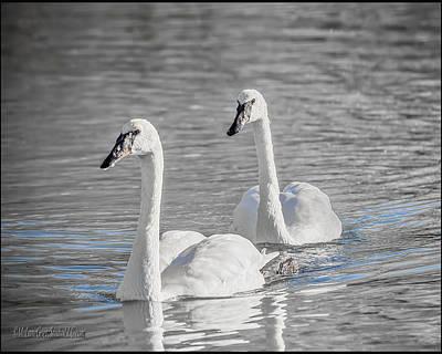 Swan Photograph - Trumpeter Swan by LeeAnn McLaneGoetz McLaneGoetzStudioLLCcom