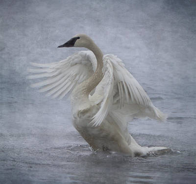 Photograph - Trumpeter Swan - Misty Display by Patti Deters