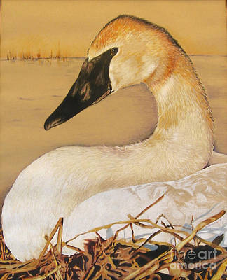 Painting - Sold Trumpeter Swan by Nancy  Parsons