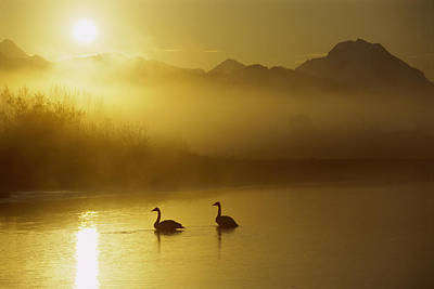 Trumpeter Swan Pair At Sunset Art Print by Michael Quinton