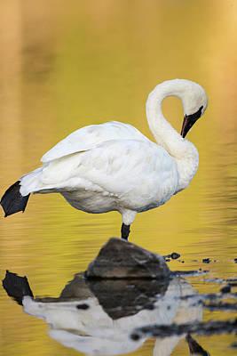 Trumpeter Swan Preening, Cygnus Art Print