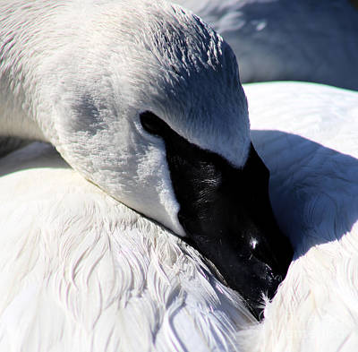 Photograph - Trumpeter Swan Resting by Sue Harper