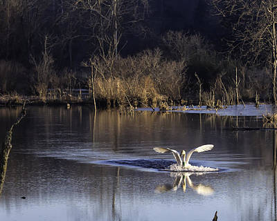 Photograph - Trumpeter Swan Touchdown by Michael Dougherty