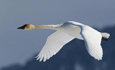 Cygnus Photograph - Trumpeter Swan, Winter Flight by Ken Archer