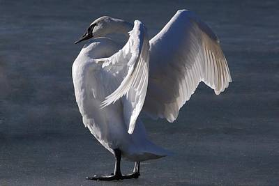 Photograph - Trumpeter Swan - Zeus by Joy Bradley