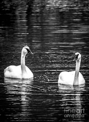 Photograph - Trumpeter Swans by Cheryl Baxter