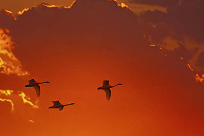 Three Of A Kind Photograph - Trumpeter Swans Cygnus Buccinator by Mark Newman