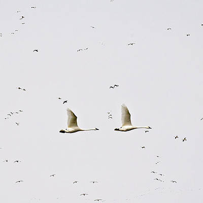 Photograph - Trumpeter Swans by Deb Buchanan