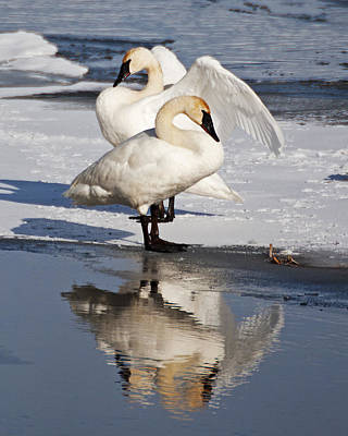 Photograph - Trumpeter Swans by Doug Davidson