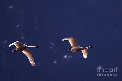 Trumpeter Swans In-flight Art Print by Sharon Talson