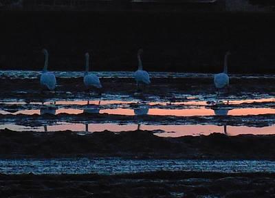 Trumpeter Swans In Pink Art Print