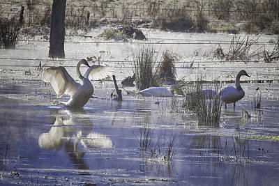 Photograph - Trumpeter Swans On Winter Pond by Michael Dougherty