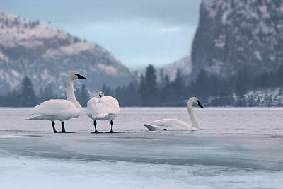 Photograph - Trumpeters On Swan Lake  by John Poon
