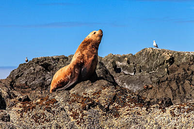 Photograph - Trumpeting Sea Lion by Stuart Gordon