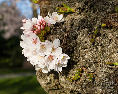 Photograph - Trunk Blossoms by Dale Nelson