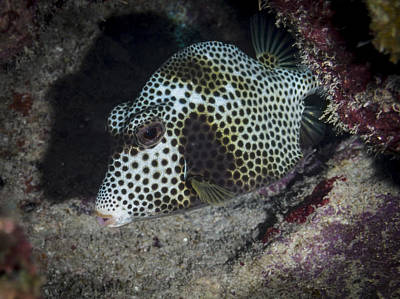 Photograph - Trunk Fish by Jean Noren