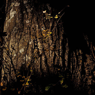 Santa Rosa Photograph - Trunk Lichen And Vine by Peter Tellone