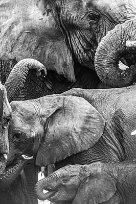 Photograph - Trunks Together Mono by Alistair Lyne
