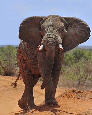 Photograph - Tsavo Elephant by Tony Beck