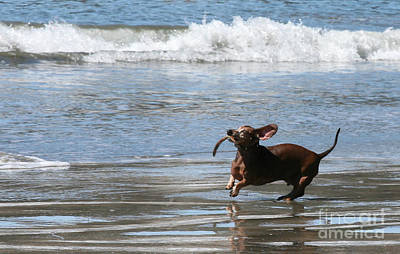 Daschshund Photograph - Tsunami Harry by Wylder Flett