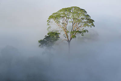 Danum Valley Conservation Area Photograph - Tualang Tree Above Rainforest Mist by Ch'ien Lee