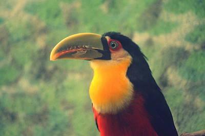 Photograph - Tucano De Bico Verde . Ramphastos Dicolorus by Paulo Zerbato