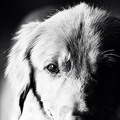 Golden Photograph - Tucker by Scott Pellegrin
