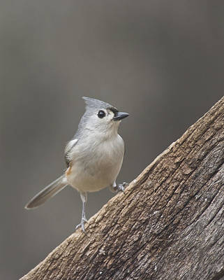 Photograph - Tuffed Titmouse by Robert Camp