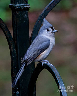 Titmouse Digital Art - Tuffted Titmouse by Jinx Farmer
