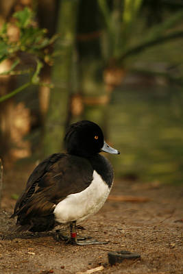 Photograph - Tufted Duck by Kristia Adams