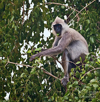 Photograph - Tufted Grey Langur Monkey  Semnopithecus Priam Priam by Liz Leyden