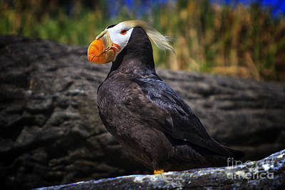 Puffin Photograph - Tufted Puffin by Mark Kiver