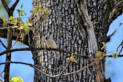 Soap Suds - Tufted Titmouse 12 by Lawrence Hess