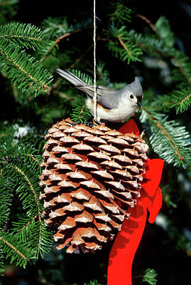 Tufted Titmouse Photograph - Tufted Titmouse (baeolophus Bicolor by Richard and Susan Day