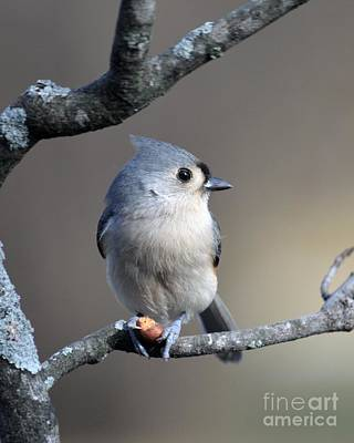 Tufted Titmouse Photograph - Tufted Titmouse by Charles Trinkle
