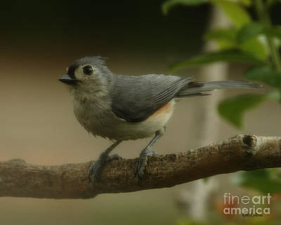 Photograph - Tufted Titmouse Close Up by Amanda Collins