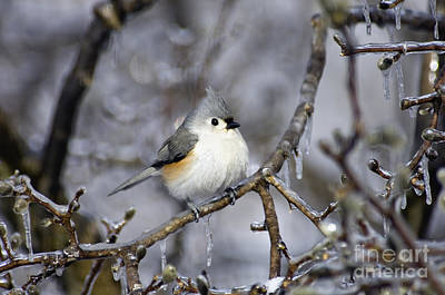 Photograph - Tufted Titmouse - D008822 by Daniel Dempster
