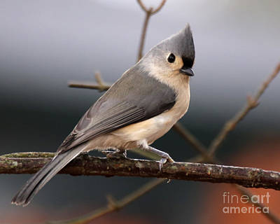 Photograph - Tufted Titmouse by Deborah Smith