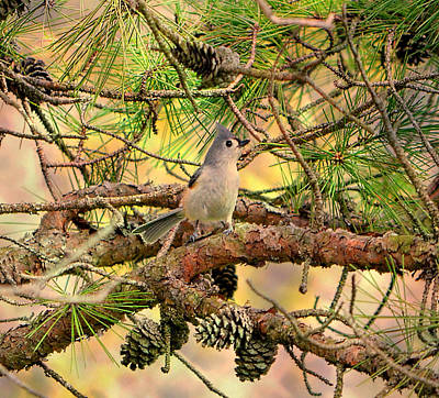 Tufted Titmouse Art Print by Deena Stoddard