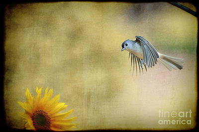 Photograph - Tufted Titmouse Flying Over Flower by Dan Friend