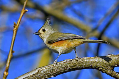 Tufted Titmouse Art Print by Gary Holmes