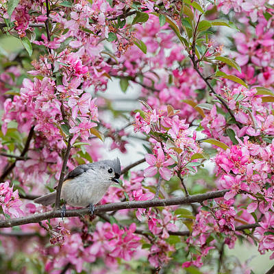 Titmouse Photograph - Tufted Titmouse In A Pear Tree Square by Bill Wakeley