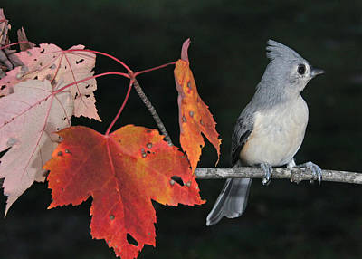 Photograph - Tufted Titmouse In Autumn Serenity by Leda Robertson