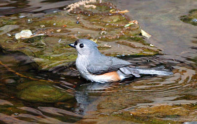 Tufted Titmouse In Pond II Art Print by Sandy Keeton