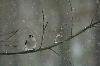 Photograph - Tufted Titmouse In The Snow by Kristia Adams