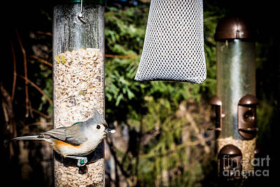 Tufted Titmouse Photograph - Tufted Titmouse by Jim DeLillo